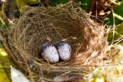 Two small bird eggs, striped in color, placed in a bird's nest on a green palm tree in the garden.