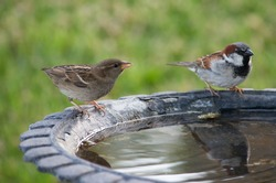 Two small birds sitting at a birdbath on a summer day.