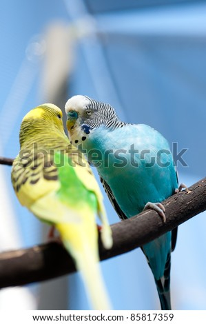 Two Small Budgies Kissing on Tree Branch