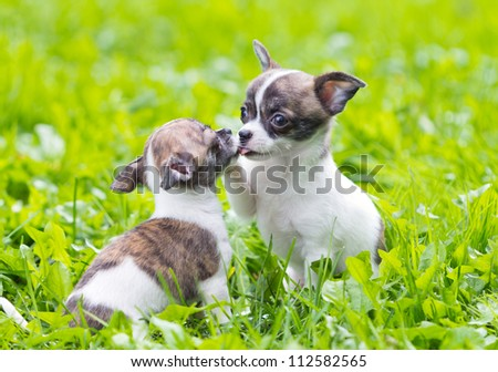 Two small chihuahua puppies playing in the grass