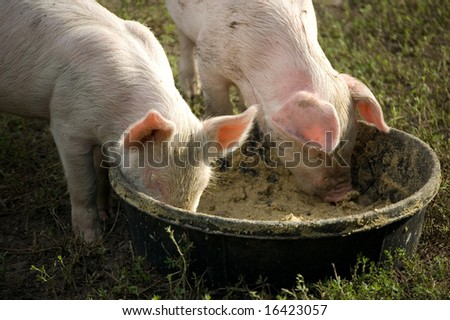 two Small cute pink and white piglets eating