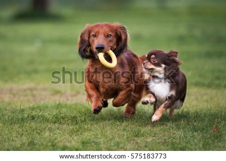 two small dogs playing together outdoors #575183773