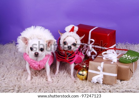 Two small dressed chihuahua dogs on the lilac background