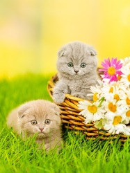 Two small gray fold kittens sitting in a wicker basket with a huge bouquet of daisies on the green grass