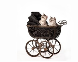 Two small gray kittens are sitting in an antique doll carriage of the late 19th century, peeking out of it cutely. Portrait of kittens in a stroller isolated on white backgroun