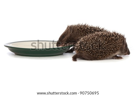 two small grey prickly hedgehogs gathering to drink milk from the plate