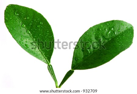 Two Small Leaves with Water Droplets