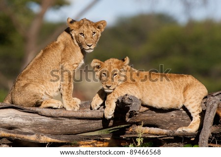 Two small lion cubs resting on a fallen tree stump