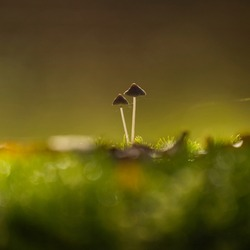 Two small mushrooms back lit by the sun growing out of green moss.