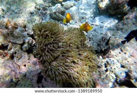 Two small orange clown fish protect themselves in an anemone in Maldive.  #1389189950