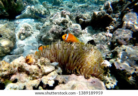 Two small orange clown fish protect themselves in an anemone in Maldive.  #1389189959