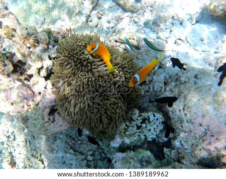 Two small orange clown fish protect themselves in an anemone in Maldive.  #1389189962