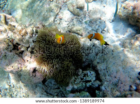 Two small orange clown fish protect themselves in an anemone in Maldive.  #1389189974