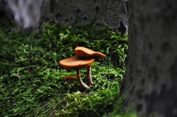 Two small orange mushrooms growing from mossy trunk