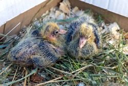 Two small pigeon Chicks are sitting in the nest. Breeding of domestic pedigreed pigeons