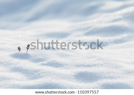 Two Small Pine Twigs Showing On The White Snow In Winter