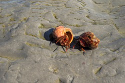 Two small, prickly red hermit crab crawls on wet rock in the sea among the splashing waves on a hot sunny summer day. horizontal image with blurred background, soft focus, free space for text.