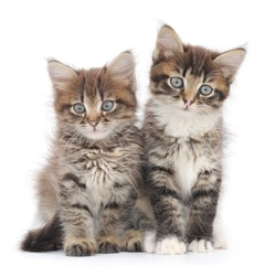 Two small Siberian kittens on white background.