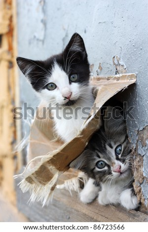 Two small stray playful funny kitten look out of hiding