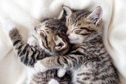 Two small striped domestic kittens sleeping hugging each other at home lying on bed white blanket funny pose. cute adorable pets cats