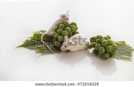 two small white mice with bunches of green grapes on a white background