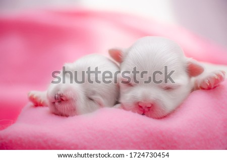 two small white pups just born Сток-фото ©