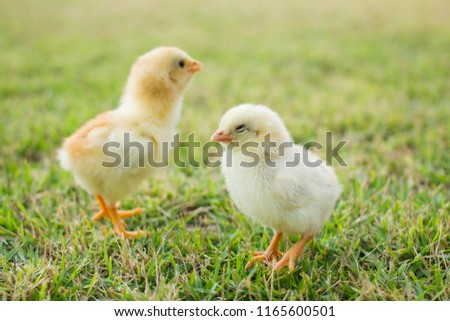 Two small yellow chicks on the lawn or grass field on the farm background patterns for concept design and decoration, Beautiful and adorable yellow little chicken #1165600501