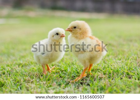 Two small yellow chicks on the lawn or grass field on the farm background patterns for concept design and decoration, Beautiful and adorable yellow little chicken #1165600507