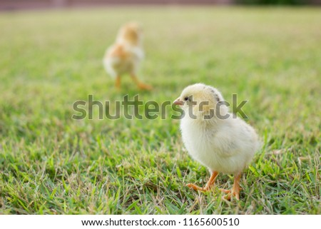 Two small yellow chicks on the lawn or grass field on the farm background patterns for concept design and decoration, Beautiful and adorable yellow little chicken #1165600510
