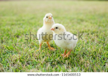 Two small yellow chicks on the lawn or grass field on the farm background patterns for concept design and decoration, Beautiful and adorable yellow little chicken #1165600513