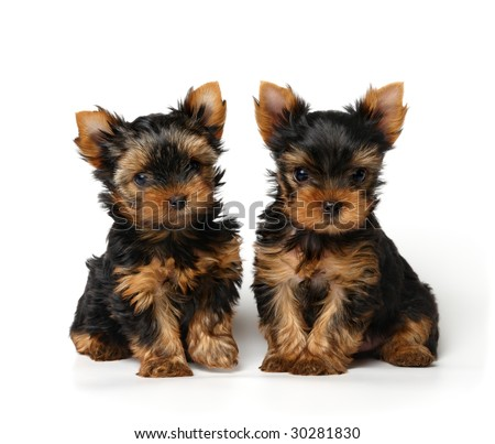 Yorkshire Terrier Puppies on Two Small Yorkshire Terrier Puppies Sitting Together Stock Photo