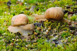 Two snails crawling in moss after rain.  Genus species Helix pomatia.