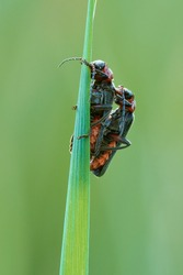 Two soldier beetles Cantharis lateralis resting motionless on a blade of grass. Mating. Blurred light green background. Side view,closeup.