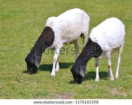 Two Somali sheep, or Berbera Blackhead, grazing  #1176165598