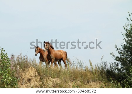 Two sorrel horses on the summer meadow