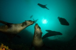 two south african fur seal in murky waters coming close to photographer