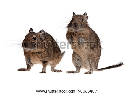 two South American rat degu isolated on white