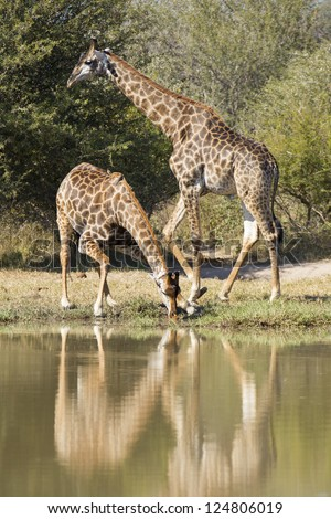 Two Southern Giraffes's (Giraffa camelopardalis) in South Africa. One drinking water