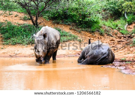 Two southern white rhinoceros lazing in the water at Kruger National Park