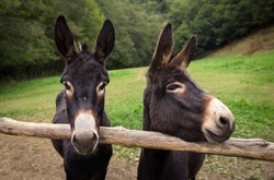 two Spanish donkeys pose for the camera