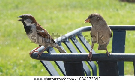 Two sparrows on a trash can. Sparrows in summer on the background of green grass. The sparrows chirp. Birds look to the left. Sparrows in nature. #1036373395