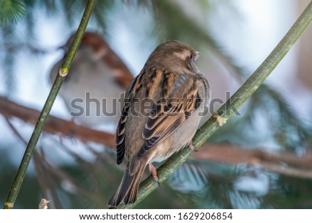 Two sparrows specularly sit opposite each other on branches. Sparrow sits on a branch without leaves