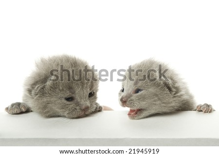 Two speaking kittens. Isolated on white background