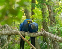 Two Spix's macaw, blue parrots, isolated together preening each other with beautiful green foliage in the background.