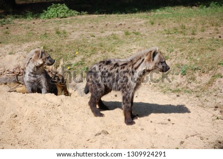 Two spotted hyena (crocuta crocuta) looking out
