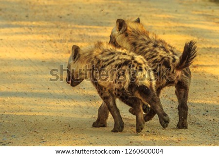 Two spotted hyena cubs species Crocuta crocuta, run along the dirt road in Kruger National Park, South Africa. Iena ridens or hyena maculata outdoor.