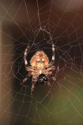 Two-spotted orb weaver, Brown-legged spider, orb-weaver spider (Neoscona vigilans, Araneinae) on web habitat.