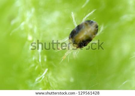 Two-spotted Spider mite Tetranychus urticae