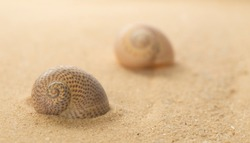 Two spotty Sea snail shelsl on the tropical sandy beach