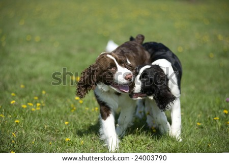 Two Springer Spaniel Puppies at Play
